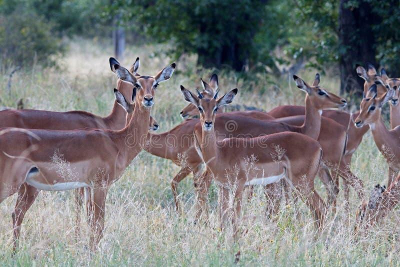飞羚母羊和年轻公牛在牧群 免版税图库摄影