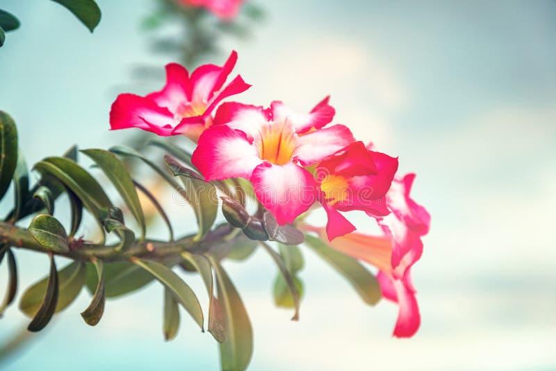 飞羚百合或沙漠座莲或假装杜娟花,美丽的桃红色花 库存照片
