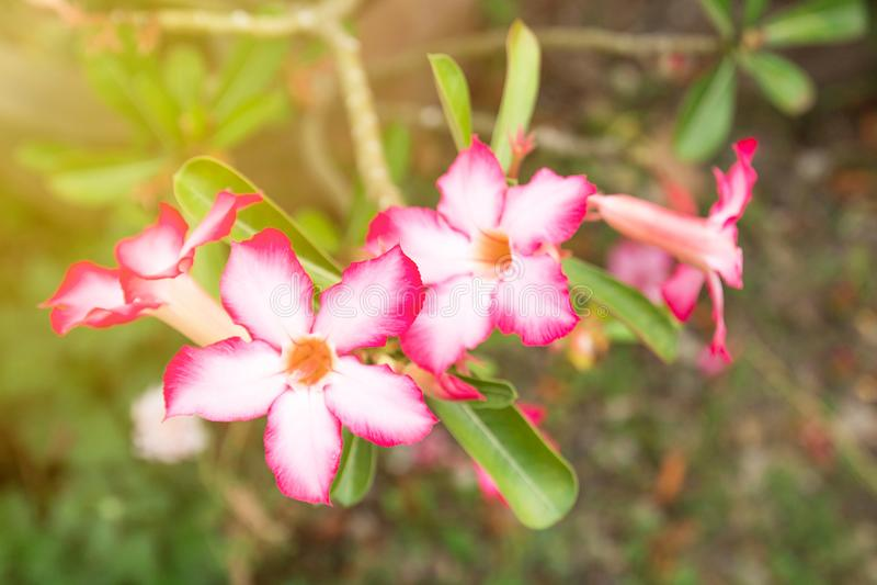 飞羚百合或沙漠座莲或假装杜娟花,美丽的桃红色花 免版税库存照片