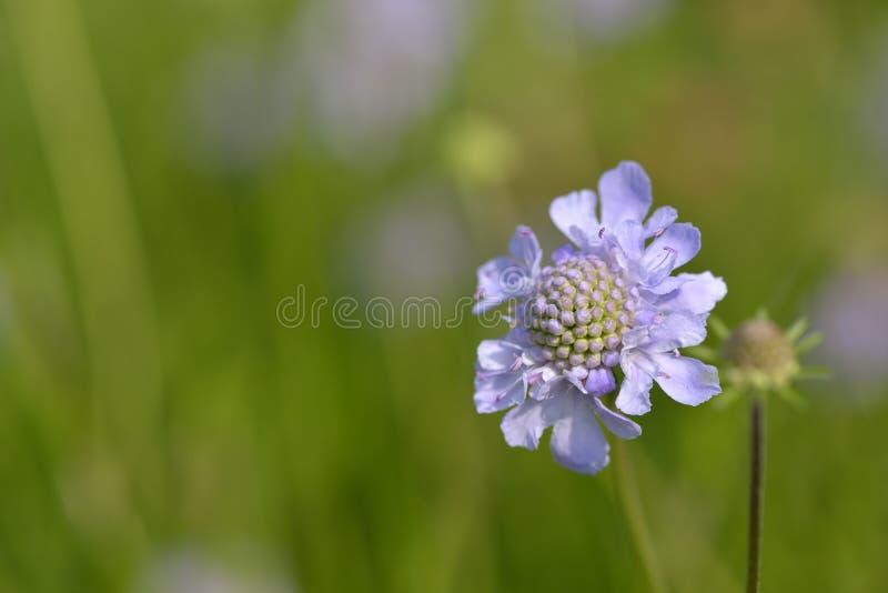 飞蓬开花在春天 库存照片
