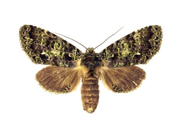 飞蛾呈了杂色突出 图库摄影