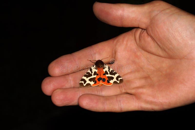飞蛾在手边 庭院灯蛾或伟大的灯蛾,Arctia caja,是家庭Erebidae的飞蛾 库存图片