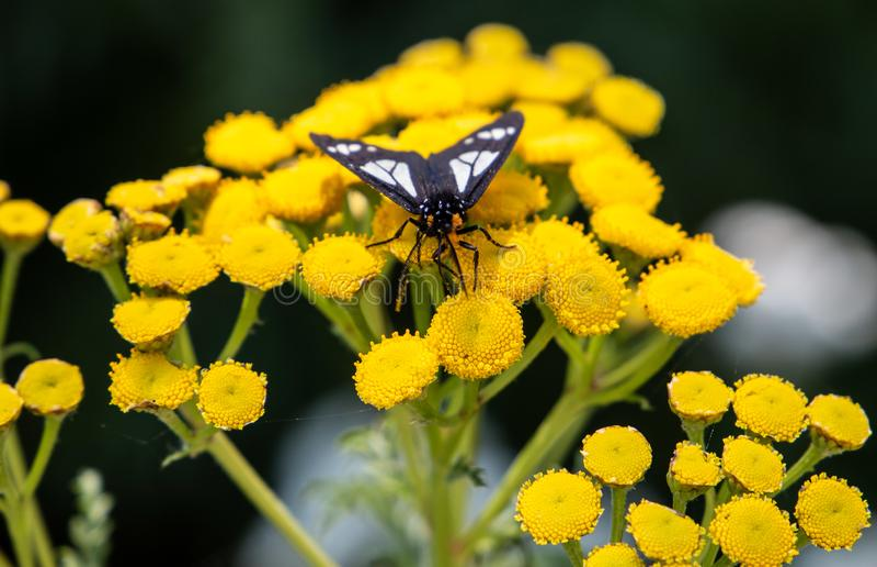 飞蛾坐一朵黄色花在森林里 免版税库存图片