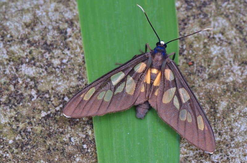 飞蛾, Caeneressa sp 库存照片