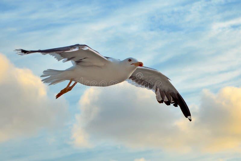 飞行与开放翼的一点黑支持的海鸥在天空蔚蓝前面的飞行期间与云彩 免版税库存图片