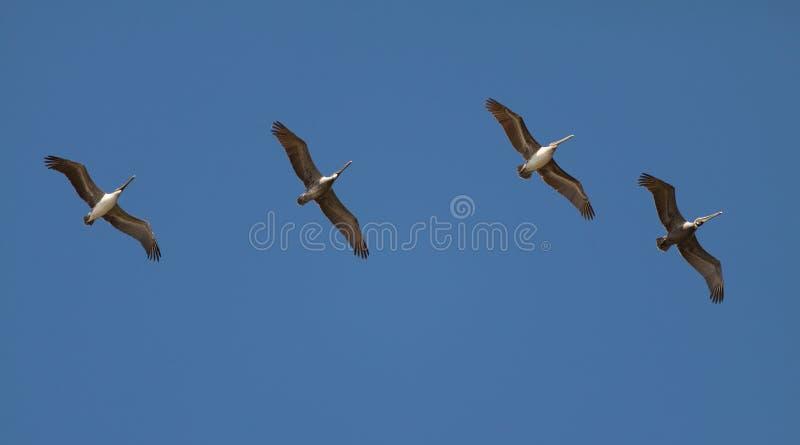 飞行串的鹈鹕 免版税库存照片