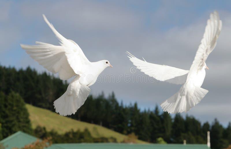 飞行二白色的鸠 图库摄影