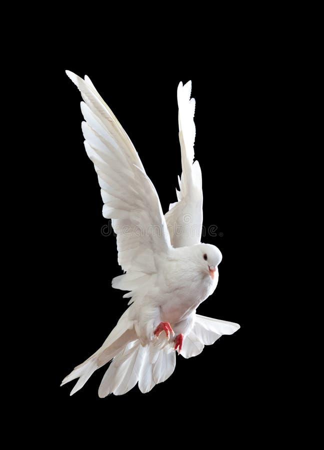 飞行任意查出的白色的黑色鸠