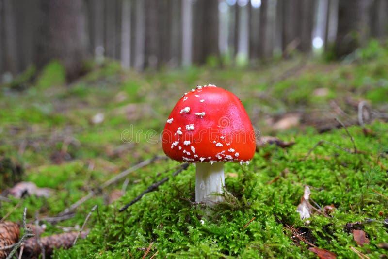 飞行伞菌不可思议的蘑菇在森林 图库摄影
