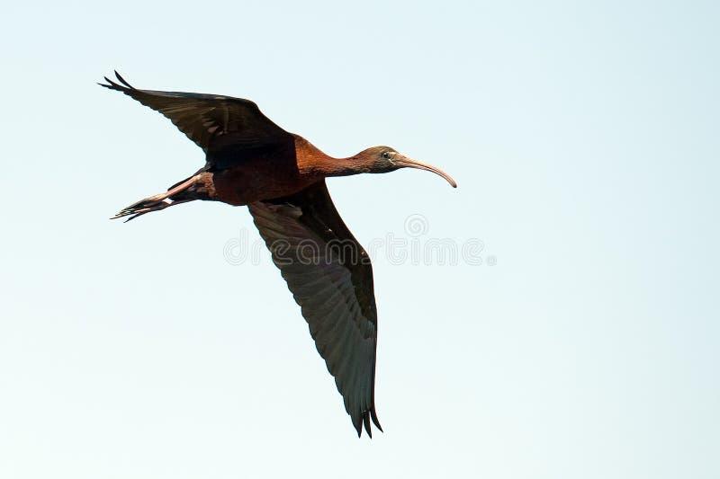 飞行光滑的IBIS 图库摄影