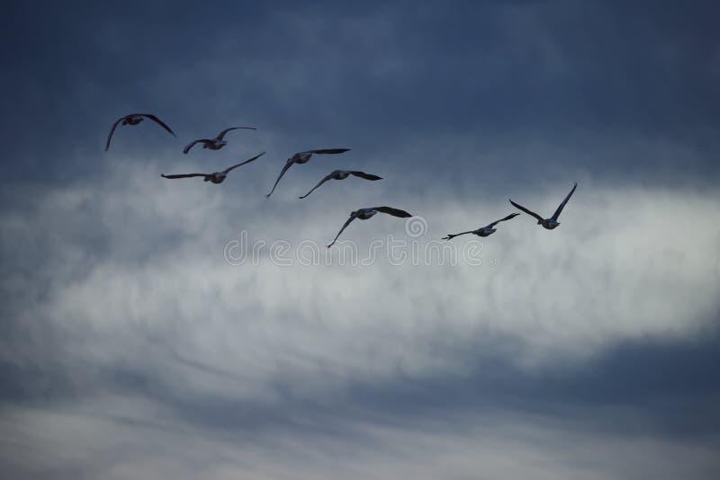 飞行入多云天空的鹅 免版税库存照片