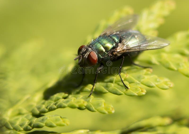 飞行动物,吃香蕉,成熟果蝇的房子飞行 库存照片