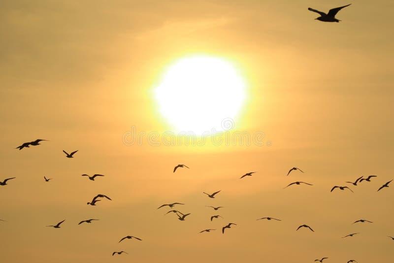 飞行反对发光的朝阳,自然背景的许多海鸥 免版税库存图片
