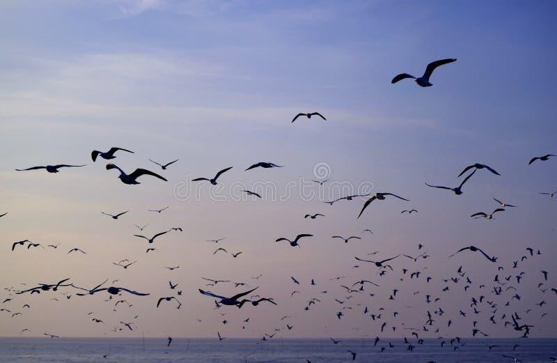 飞行反对在风平浪静的淡色蓝色早晨天空的无数海鸥剪影  库存照片