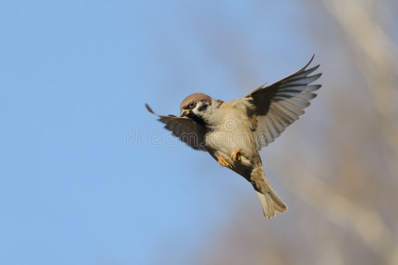 飞行反对明亮的蓝天背景的树麻雀 库存图片