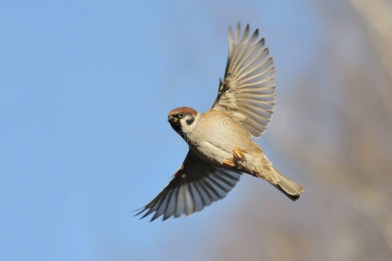 飞行反对明亮的蓝天背景的树麻雀 库存照片