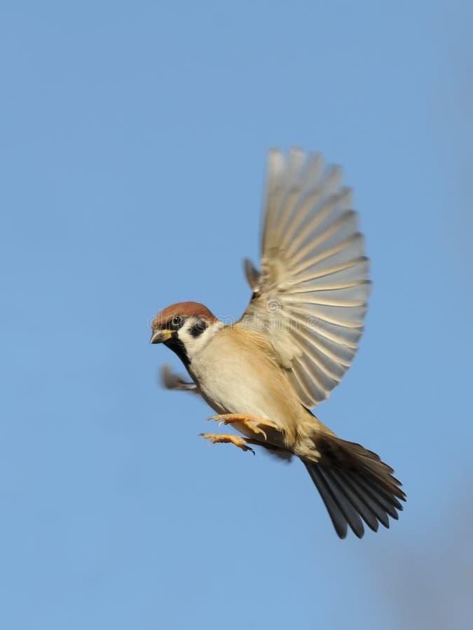 飞行反对明亮的蓝天背景的树麻雀 免版税库存照片