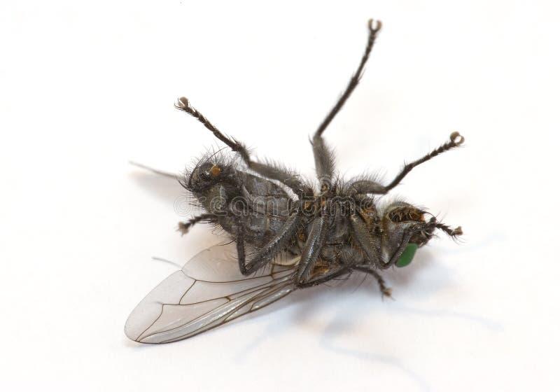 飞行困昆虫的宏指令 免版税库存照片