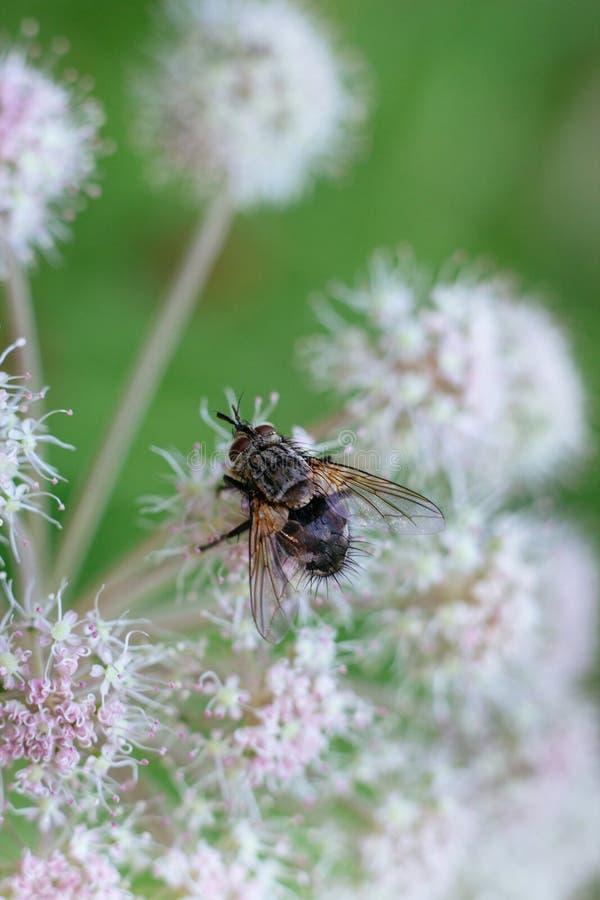飞行在一个绿色背景特写镜头的一束白花 毒花毒芹 飞行构造了翼和一个长毛的身体 库存照片
