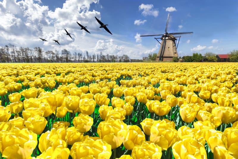 飞行在不尽的黄色郁金香农场的鹅 免版税库存照片