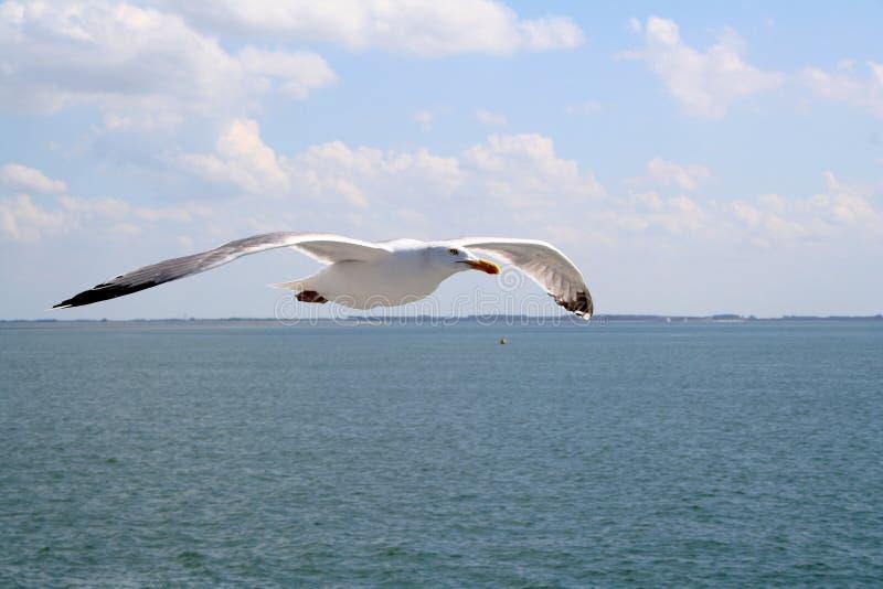 飞行在东斯海尔德河的海鸥 免版税库存照片
