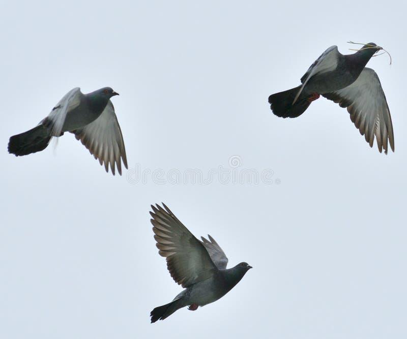 飞行在农场附近的鸽子 免版税库存照片