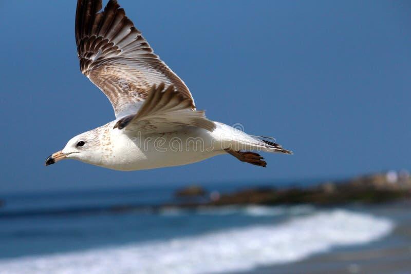 飞行在加利福尼亚海滩的海鸥 免版税库存图片