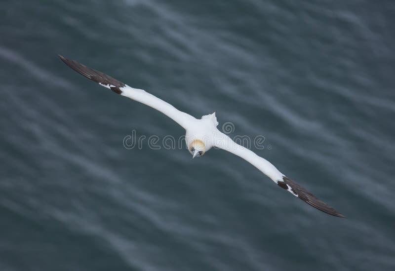 飞行在北海在Bempton峭壁附近,约克夏的Gannet, 库存照片