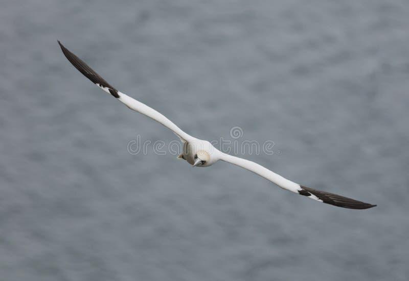 飞行在北海在Bempton峭壁附近,约克夏的Gannet, 库存图片