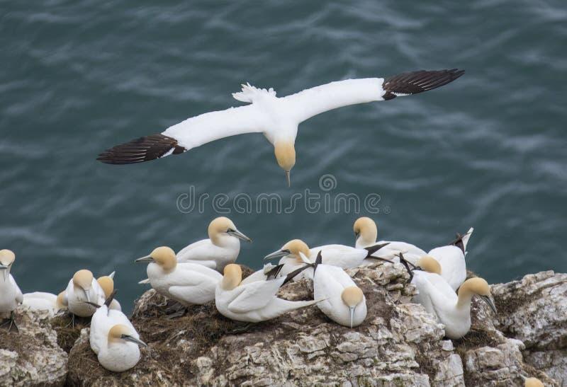 飞行在北海在Bempton峭壁附近,约克夏的Gannet, 免版税库存照片