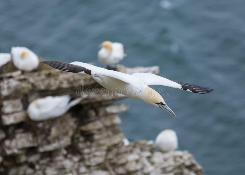 飞行在北海在Bempton峭壁附近,约克夏的Gannet, 免版税库存图片