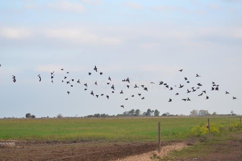 飞行在国家的黑鸟 库存照片