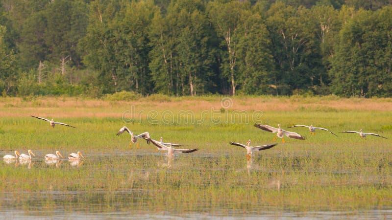 飞行在夏天期间的美国白色鹈鹕分谴舰队在Crex草甸野生生物地区-主要沼泽地区域 免版税库存照片