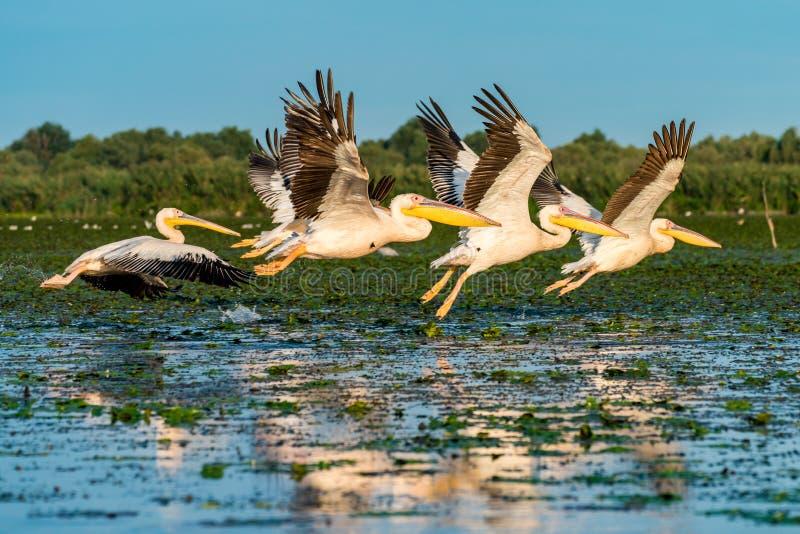 飞行在多瑙河三角洲罗马尼亚的水的鹈鹕殖民地在sunr 库存照片