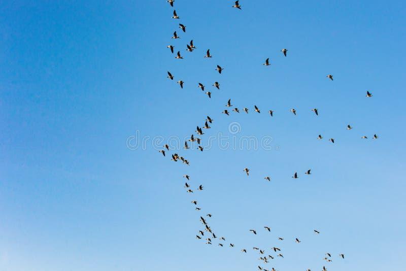 飞行在天空中的鸟群反对蓝天 免版税库存图片