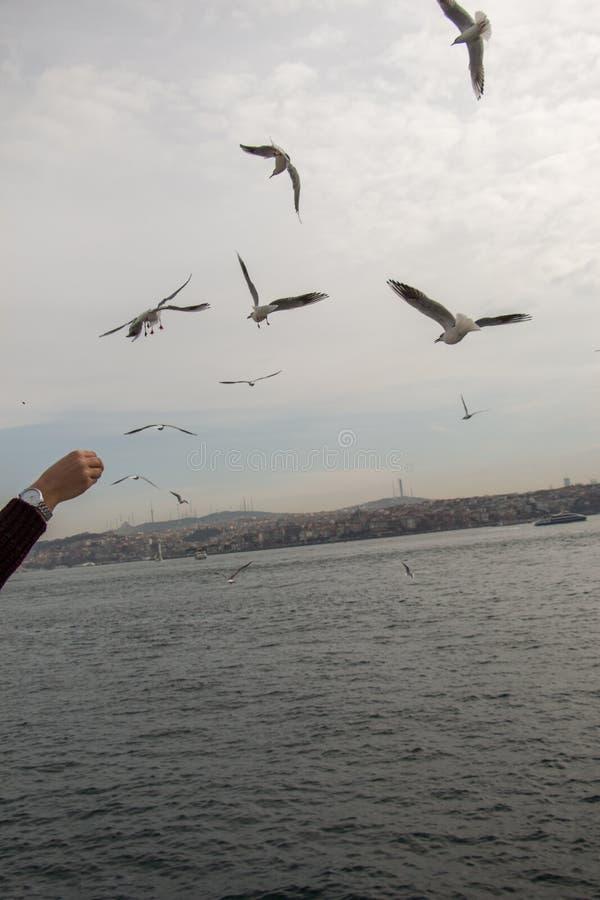 飞行在天空的海鸥在伊斯坦布尔 库存图片