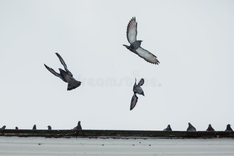 飞行在天空的鸽子鸟 免版税库存图片