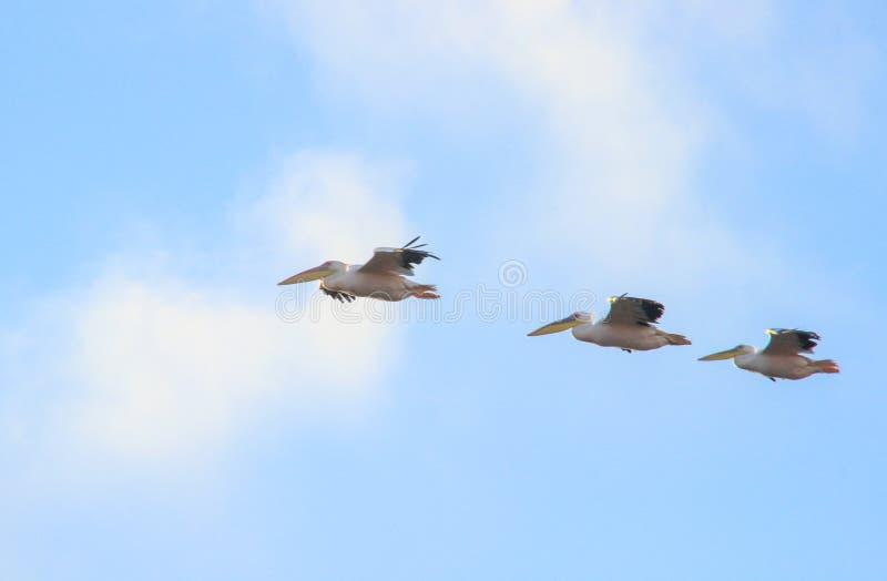飞行在天空的鹈鹕群  免版税库存照片