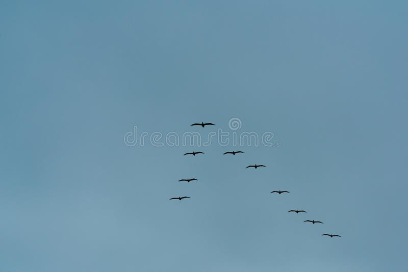 飞行在天空蔚蓝的后三角队形的鸟群  图库摄影