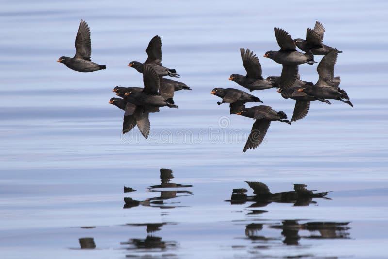 飞行在太平洋的水的有顶饰小海雀群 图库摄影