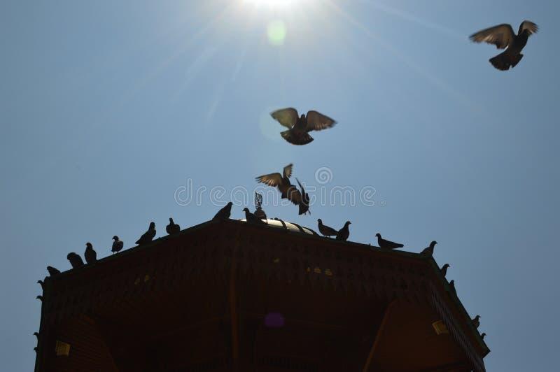 飞行在太阳和蓝天前面的老木塔的观点的快速的鸽子 免版税库存图片
