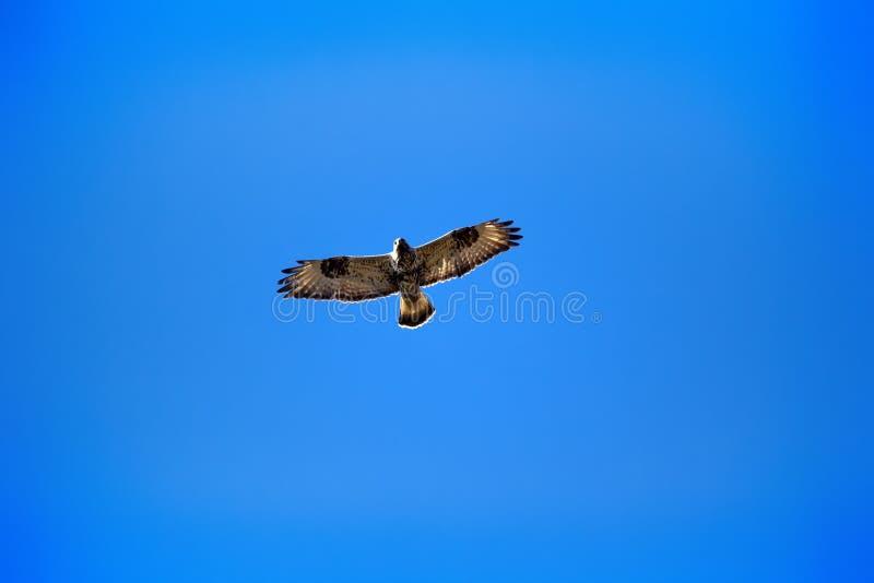 飞行在巢的腿上有毛的肉食 免版税库存照片