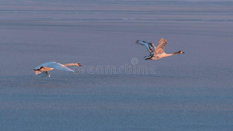 飞行在巴拉顿湖的疣鼻天鹅在冬天 库存照片
