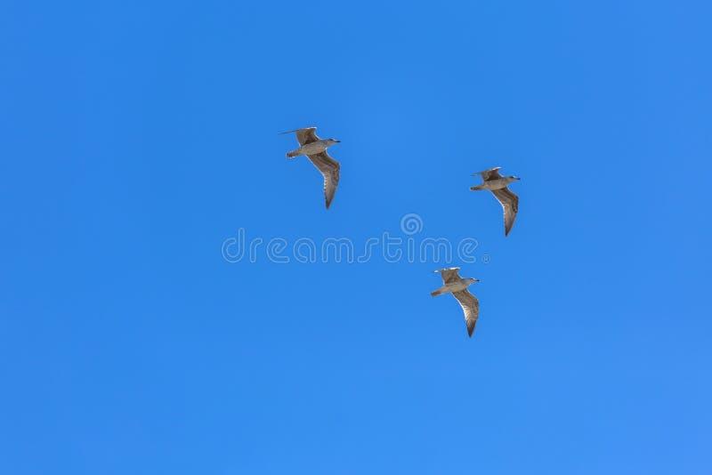 飞行在干净和天空蔚蓝的观点的三只海鸥 免版税库存照片