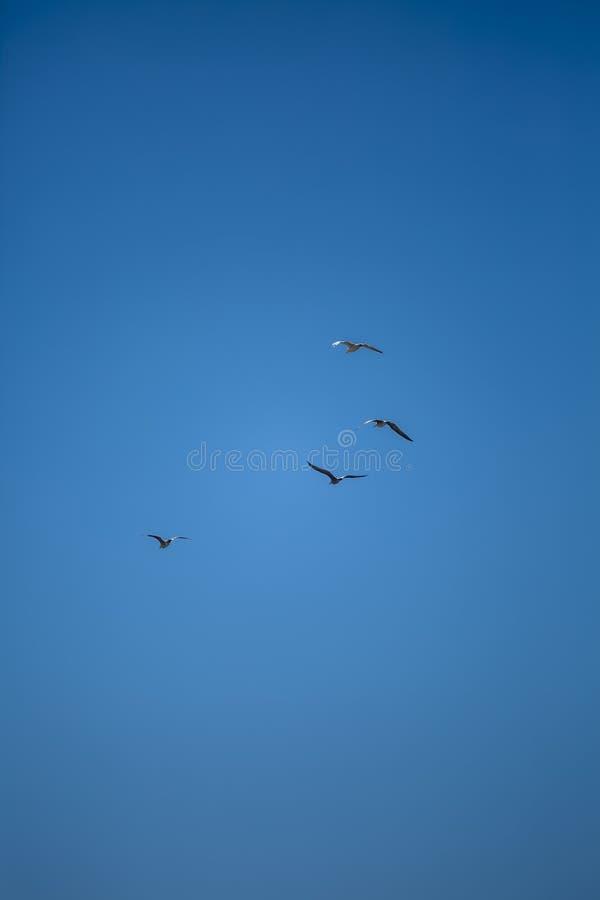 飞行在干净和天空蔚蓝的观点的四只海鸥,在葡萄牙 免版税库存照片
