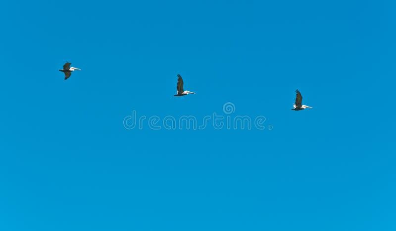 飞行在形成的三棕色鹈鹕 免版税图库摄影