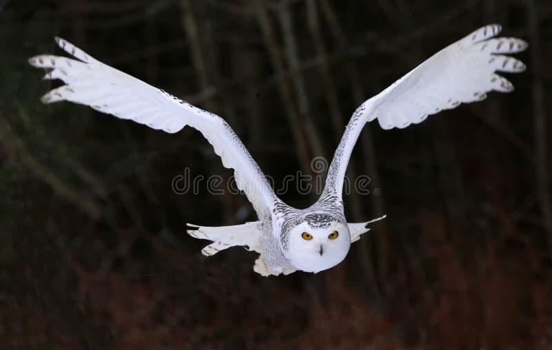 飞行在您的斯诺伊猫头鹰 图库摄影