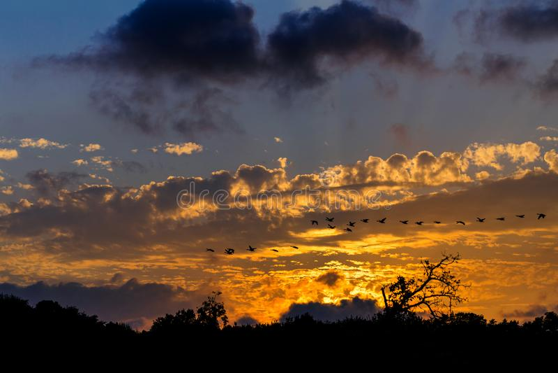 飞行在日落的加拿大鹅队丝球反对橙色发光的背景 免版税图库摄影