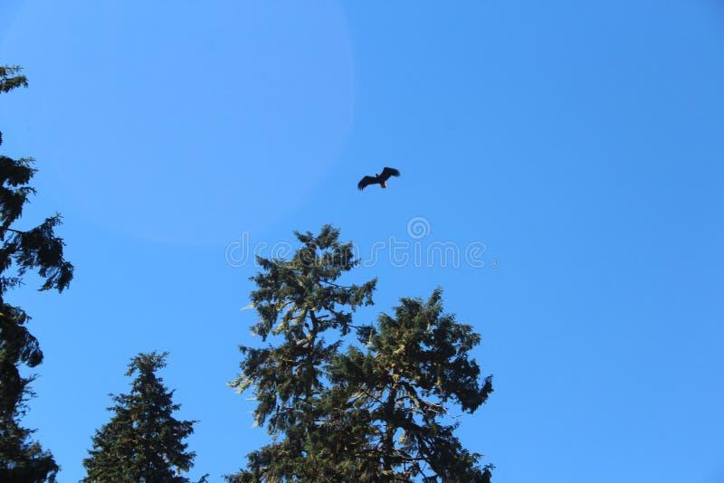 飞行在森林的白头鹰在夏天在Wrangell阿拉斯加附近 免版税库存图片