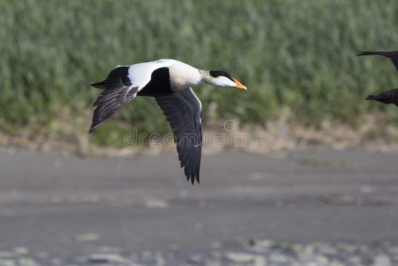 飞行在河的嘴的共同的绒鸭的男性 免版税库存图片